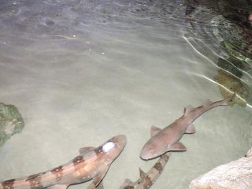Bamboo Sharks